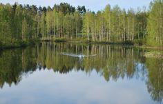 """Kaksin aamu-uinnilla ©Ulla Hautamäki: """"Toukokuun lopun varhaisena kevätaamuna ihana joutsenpariskunta uiskenteli koivuja heijastavassa vedessä. Tuntui, kuin kesä olisi alkanut siitä hetkestä."""""""