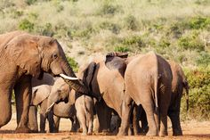 Elephant's trunk resting on baby Elephant's trunk resting on baby elephant at the dam.