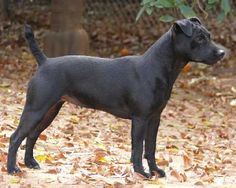 The Patterdale Terrier was bred in 18th-century Britain for hunting rabbits.  It is independent, robust, and willing to dig up any animal that tries to escape it underground.  It will also take on any dog it comes across, and can be difficult to train.  Interestingly, it has developed a handsomely muscled & trim appearance without aesthetics being a consideration in the breeding process.  The Patterdale is not suited to urban living, and requires a lot of exercise, but does well in any…