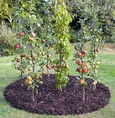 How to grow apples and pears in cordons garden landscaping fruit trees Cordon Fruit Trees: How to Get the Best Harvest From a Small Garden Patio Fruit Trees, Espalier Fruit Trees, Fruit Tree Garden, Dwarf Fruit Trees, Growing Fruit Trees, Columnar Trees, Veg Garden, Edible Garden, Trees And Shrubs