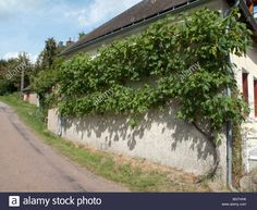 Download this stock image: grape vine wall road France house - BGTHH6 from Alamy's library of millions of high resolution stock photos, illustrations and vectors. North Garden, Natural Pesticides, Vine Wall, Mediterranean Garden, Edible Plants, House Wall, Outdoor Walls, Garden Plants, Grape Vines