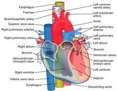 Cardiovascular Poster