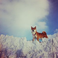 Shiba inu's love the snow! They play and slide and dive into it.