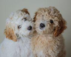 Mini Goldendoodles by www.beckkennel.com
