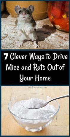 12 Clever Ways to Drive Mice and Rats Out of Your Home - Recipes and home remedies to get rid of mice! Mouse killers 12 Clever Ways to Drive Mice and Rats Out of Your Home - Recipes and home remedies to get rid of mice! Diy Mice Repellent, Natural Rat Repellent, Insect Repellent, Keep Mice Away, Getting Rid Of Rats, Insecticide, Home Health, Health Tips, Health Facts