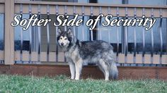 Security may require toughness, but we highlight the softer side of security. #dogs #siberianhusky #husky