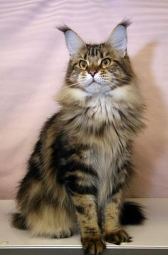SaraJen Maine Coon Cats - Female Cats http://www.mainecoonguide.com/where-to-find-maine-coon-kittens-for-sale/