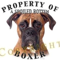This is so Zeus...he is not our baby, we are his babies!! Boxer love is like no other love!!