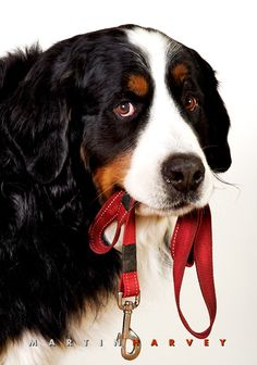 Bernese Mountain Dog by Martin Harvey