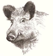 wild boar drawing - Google Search