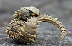 Armadillo Lizard...looks like a little dragon to me