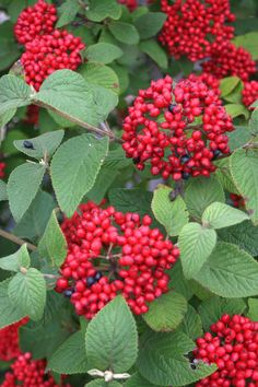 New viburnum with red berries in the fall and winter....RedBalloon Viburnum by Proven Winners