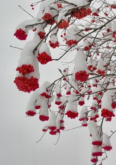 Berries crowned with snow