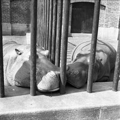 Vivian Maier Two Hippos 1955 Photography She took more than 150,000 photographs during her lifetime, primarily of the people and architecture of New York City, Chicago, and Los Angeles, although she also traveled and photographed worldwide