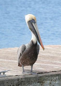 Proud Pelican Photograph