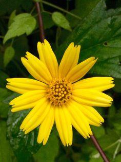 黃花蜜菜(蟛蜞菊)TrilobateWedelia