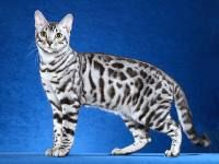 A silver toyger I want :)