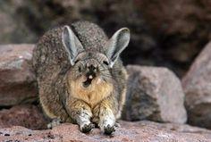 ビスカッチャ(ビスカーチャ, Viscacha(英), Vizcacha(西))とは、南米のアンデス山中、ペルーやアルゼンチンなどに生息する、大型の齧歯類である。アンデスウサギとも呼ばれる。