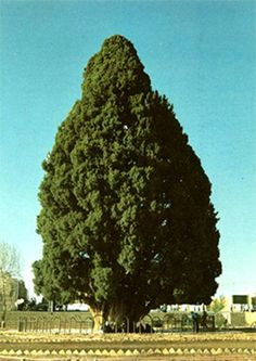 """Sarv-e Abarqu -  Sarv-e Abarqu, also called the """"Zoroastrian Sarv,"""" is a cypress tree in Yazd province, Iran. The tree is estimated to be at least 4,000 years old and, having lived through the dawn of human civilization not far away, it is considered an Iranian national monument. Many have noted that Sarv-e Abarqu is most likely the oldest living thing in Asia."""