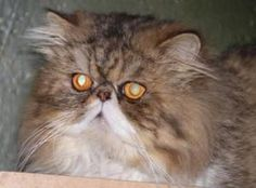D. J. is an adoptable Persian Cat in South Bend, IN. 'Super Nice Cat!' is how D. J.'s foster mom describes him! Great personality to go with his stunning good looks! He will need a home with a family ...
