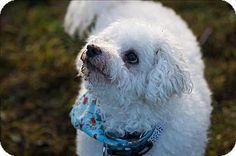 Vancouver, BC - Poodle (Standard)/Bichon Frise Mix. Meet Drifter *adoption Pending, a dog for adoption. http://www.adoptapet.com/pet/17473432-vancouver-british-columbia-poodle-standard-mix