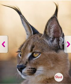 What Is Name Of Wild Cat With Black Tufted Ears