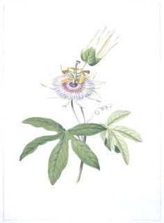 Botanical - Flower - Passion flower - Passiflora species