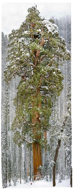 """""""The President"""" a 3,200 year-old giant sequoia tree in California. Note the person standing at the bottom of the tree (and the person in orange near the top of the tree). Photo by Michael Nichols for National Geographic. Reblogged by Wallace Gardens."""
