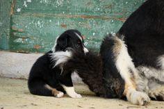 Maple Grove Farm English Shepherds »