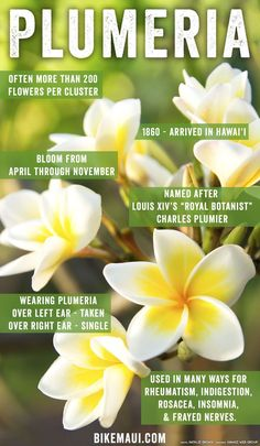 Whether worn in a lei, tucked behind an ear, or flourishing in a garden, the sultry and fragrant plumeria might just be the unofficial flower of Hawaii. Plumeria Care, Plumeria Flowers, Hawaiian Flowers, Lilies Flowers, Cactus Flower, Plumeria Flower Tattoos, Sunflowers, Exotic Flowers, Tropical Flowers
