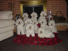 look at all those bichons