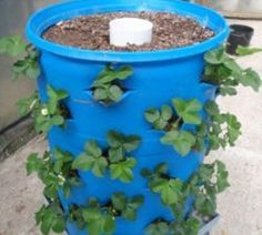 Organic Gardening Ideas a whole strawberry patch in a 55 gallon drum. ^i was going to do that with a garbage can and put a blueberry bush in the middle.