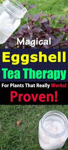 Magical Eggshell Tea Therapy For Plants That Really Works! This eggshell tea recipe for plants is proven in the lab test. It works! Learn everything about it in this informative article. Hydroponic Gardening, Hydroponics, Container Gardening, Organic Gardening, Indoor Gardening, Urban Gardening, Gardening For Beginners, Gardening Tips, Kitchen Gardening