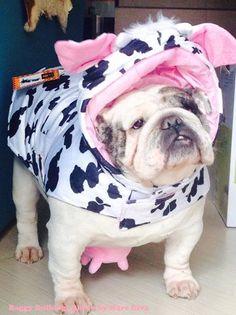 Funny costume for #Bulldog)