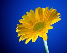 Yellow flowers color yellow pinterest yellow flowers flowers yellow gerbera daisy wgreen center mightylinksfo