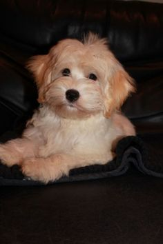 Click visit site and Check out Best HAVANESE Shirts. This website is superb. Tip: You can search & first name& The post Click visit site and Check out Best HAVANESE Shirts. This website is superb. Ti& appeared first on Elwood Kennels.