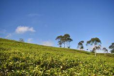 Scenic Tea Plantation