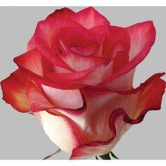 Bicolor orange roses (Blush)