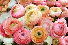 Auf Märkten gibt es eine bunte Auswahl an Schnittblumen, wie zum Beispiel Ranunkeln.