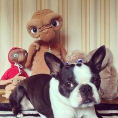 Boston Terrier & various E.T.s