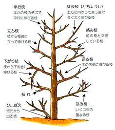 樹木剪定方法② 剪定の基本|浜松市・磐田市|エクステリア・外構|ハマニグリーンパーク