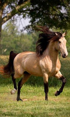 Buckskin Mustang
