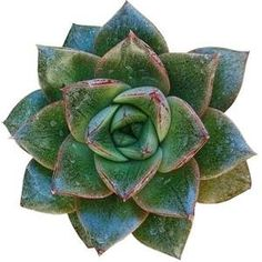 Echeveria Purpusorum Rose A.Berger is a striking echeveria with deep olive green leaves embellished by small brownish red spots. Echeveria Imbricata, Plant Order, Succulent Care, Mediterranean Garden, Clay Pots, Orange Flowers, Rosettes, White Roses, Green Leaves