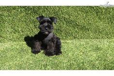 Schnauzer, Miniature puppy for sale near San Diego, California   74fee1d2-deb1