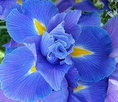 Iris del colore degli occhi di mamma
