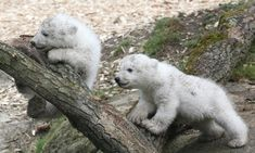 I may never get to go on my polar bear trip so I'm living vicariously through others.....  11 Photos Of Twin Polar Bears That Will Make Any Crappy Day Better