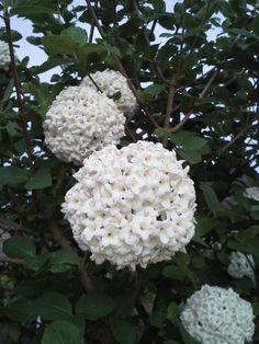 1000 images about garden on pinterest magnolias. Black Bedroom Furniture Sets. Home Design Ideas