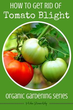 Tomato blight disease fighters; how to solarize soil; how to sanitize garden to get rid of blight; avoid blight next year; keep blight away from garden next season; kill blight for tomatoes