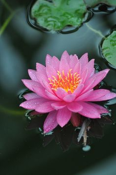 Pink Lotus Floating Lily Pads is an aquatic perennial. Pink Lotus Floating Lily Pads thrives in full sun. Water Flowers, Flowers Nature, Exotic Flowers, Pink Flowers, Beautiful Flowers, Rose Water, Flor Tattoo, Lily Pond, Aquatic Plants