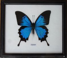 Real Single Papilio ULYSSES Butterfly by THAICRAFT4YOUDOTCOM, $15.50
